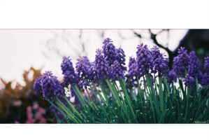 Muscari by freyiathelove