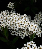 Tiny white flowers by taralynnjane