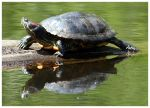 Turtle 1 by Lilithx13