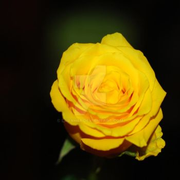 Yellow Rose by Larah88