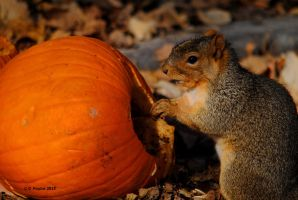 Squirrel and Pumpkin 0093 11-3-15 by eyepilot13