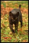 Blacky by Gibbich