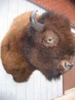 Canadian Bison by MovingSkin13