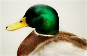 Mallard Portrait - Male by Bella-Blue
