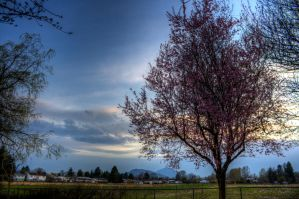 Pink Tree HDR 2 by jverm