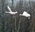 Two Tundra Swans in flight by Sybaristail
