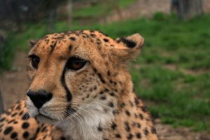 Cheetah by mightylens
