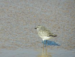 Sandpiper 2 by BlueMoon30