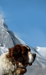 St. Bernard (dog) by SalamanDra-S