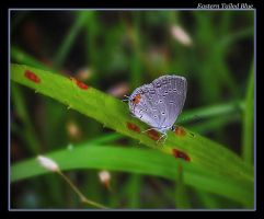 Eastern Tailed Blue 08 by boron