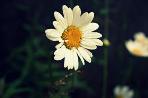 Daisy by Uncle-Sarah