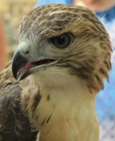 Eragon the Red-Tailed Hawk 2c by Windthin