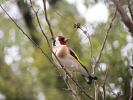 goldfinch by kiwipics