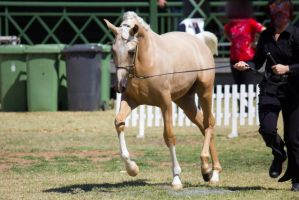 STOCK - 2014 TotR Arabians-75 by fillyrox