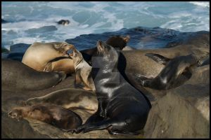 Mom And Tot Sea Lions Singing by shutterbugmom