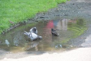 Bird Bath In the Puddle, the Gathering 10 by Miss-Tbones
