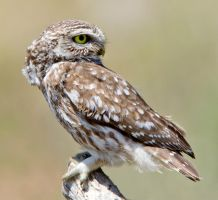 Don't look back in Anger - Little Owl by Jamie-MacArthur