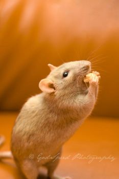 Guinness the rat IIII by GodSpeed-Photography