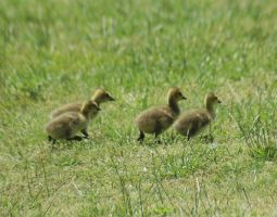 Baby Geese by LDFranklin