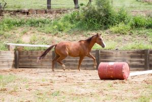 Km QH chestnut trot approach jump side view by Chunga-Stock