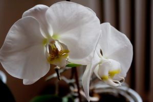 White orchids by Tonxs