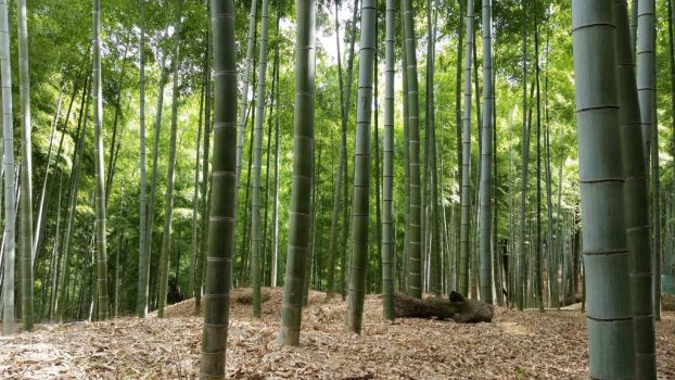 Bamboo Forest by Photacular