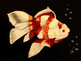 Fantail goldfish by Rhed-Dawg