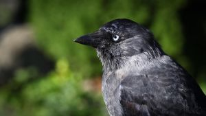 Jackdaw by RLPhotographs