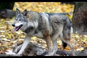 Greywolf IV by VitaniFox85
