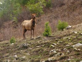 Elk by breannemarie