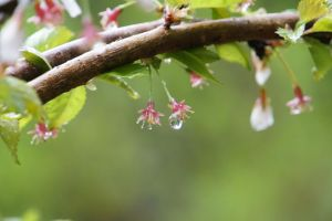 Blossom Droplets by Ellethwyn