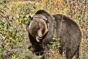 Grizzly 4 by skip2000