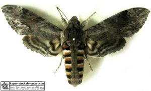 hawk moth by kayne-stock