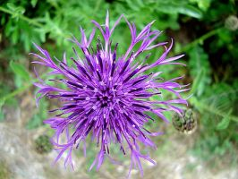 Thistle 1 by Druidstone
