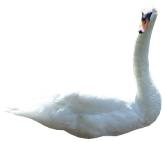 Swan 02 PNG.. by Alz-Stock-and-Art