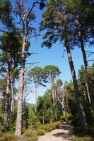 Caledonian Pine Forest by Blue-eyed-Kelpie