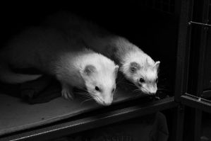 CPR Ferrets XII by LDFranklin