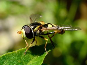 Hoverfly by zearry