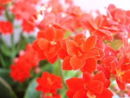 Photography - Flowers 02 by Seaedge
