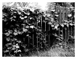 Fence and Ivy by DayDreamsPhotography