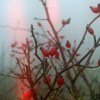 Fruit and Thorns by OctodogPhotography