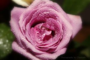 Water Rose by PristineEloquence