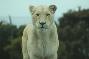White Lioness by Skarkdahn