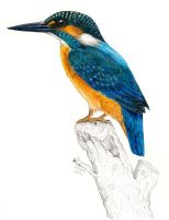 Alcedo atthis remake by Psamophis