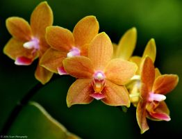 Orange Orchids 01 by nescio17