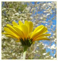 Yellow Daisy 2 by jeepgurl8204