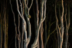 Beech Woods by Dapicture