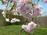 Weeping Cherry Tree 14 by roses-and-dolphins