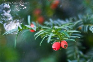Yew Tree by amrodel