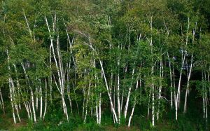 Spring Birches by muffet1
